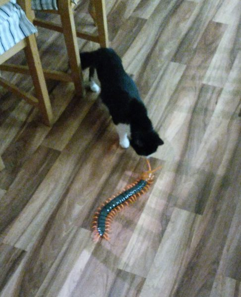 Tillie the cat meets Scolopendra Gigantea